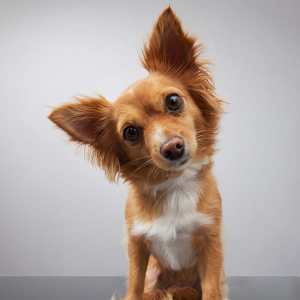 cute-dog-big-ears-600x600